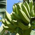 Historia de la disputa bananera en los años noventa