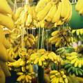 Cluster bananero para el desarrollo económico del Valle del Chira en Perú