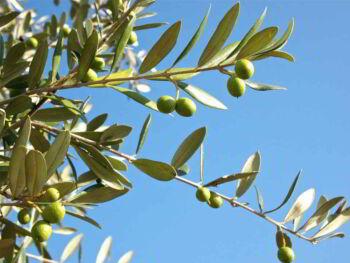 Plantación de olivos