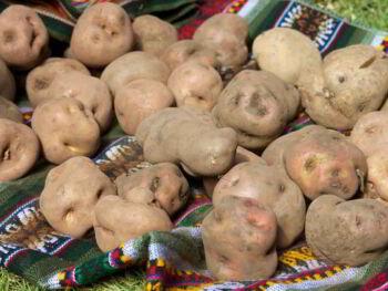 Pequeños productores de papa en Huancavelica Perú