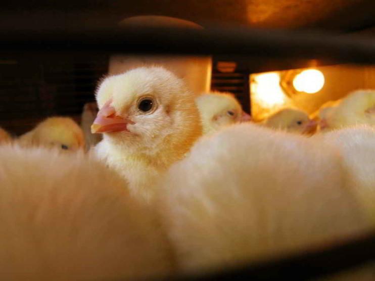 Evaluación económica financiera de un proyecto avícola