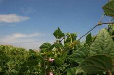 Joint Venture como estrategia de producción y comercialización de fríjol en Perú