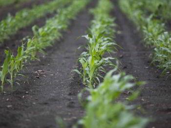 Producción de etanol celulósico y de maíz