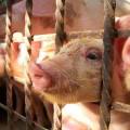 Proyecto de gestión agraria porcina en el municipio de Lajas Cuba