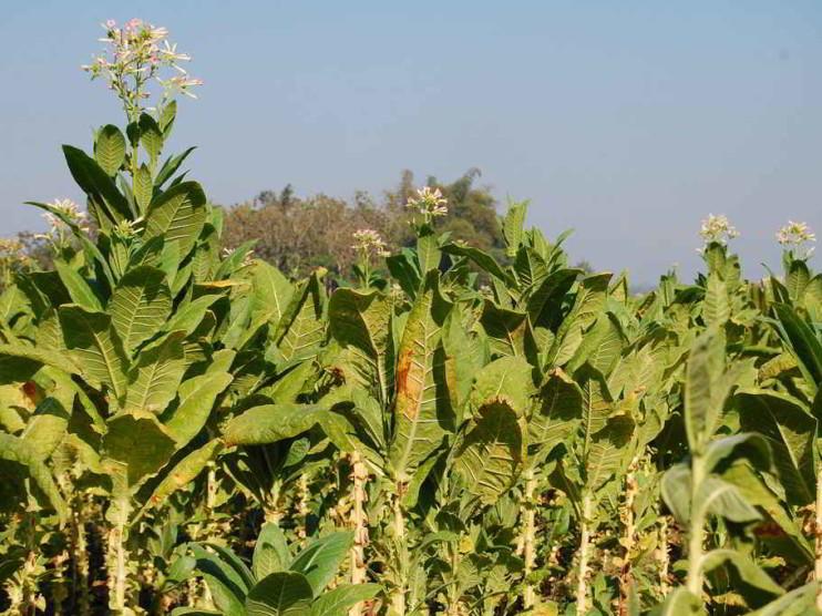 Patentes relacionadas con orobanche en tabaco para el desarrollo de nuevos productos