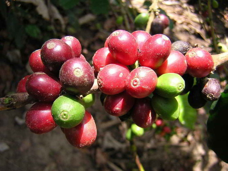 Plan de manejo ambiental de un ecosistema cafetalero ecuatoriano