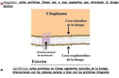 Categorías - Proteínas de la membrana