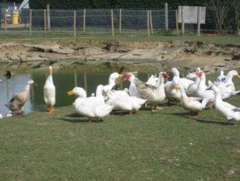 Estudio para la instalación de una granja de Patos Muscovy para exportación en Perú. Presentación