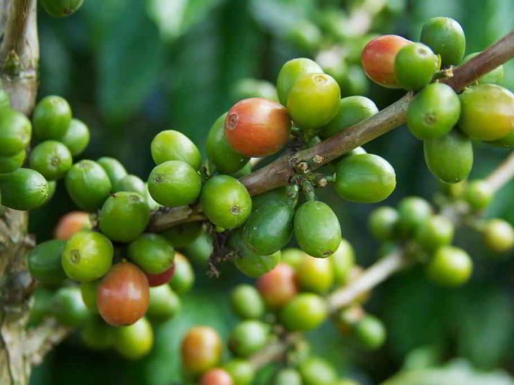 Análisis de producción agroindustrial del proyecto Biocafé