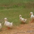 Estudio de pre factibilidad de una granja para engorde de patos criollos Muscovy