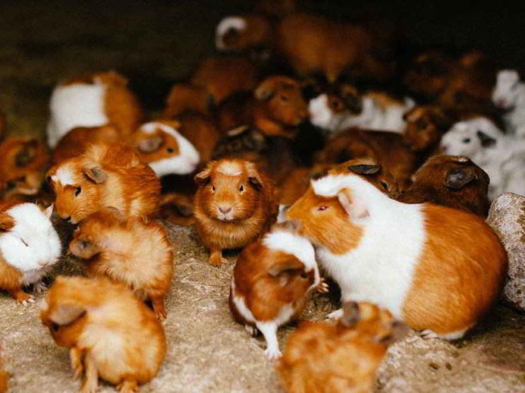 Plan de negocios. Factibilidad de producir carne de cuy en el Perú