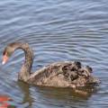 Enseñanzas del Cisne Negro para la vida