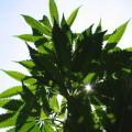 Análisis tributario sobre la legalización de la marihuana en México