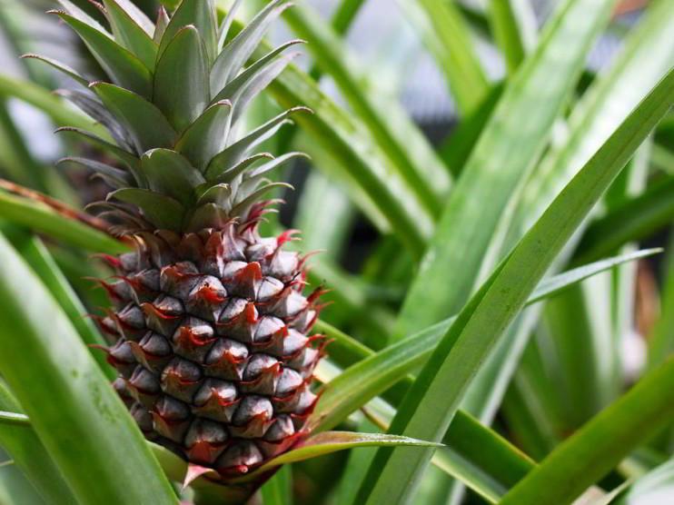 Fichas de costo de producción en un cultivo de Piña en Cuba