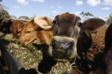 Indicadores de ceba para una finca ganadera en Cuba