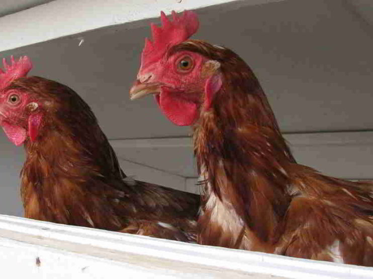 Modelo de calidad para procesos de Diagnóstico Avícola