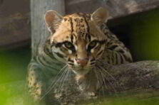 Comportamiento del Leopardus pardalis en un centro de conservación en Colombia