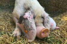 Tratamiento porcino para naves de cría en Florencia, ciego de Ávila Cuba