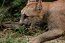 Hábitat de felinos y su conservación en Medellín Colombia