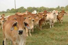 Las 10 razas ganaderas de carne más rentables en Sudamérica